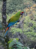 Gran Macaw verde Imagenes de archivo