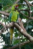Gran macaw verde - Ara Ambiguus Imagenes de archivo