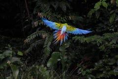Gran macaw verde que vuela - Ara Ambiguus fotos de archivo