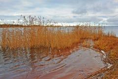 Gran Manna Grass en invierno Fotografía de archivo libre de regalías