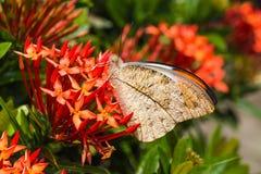 Gran mariposa anaranjada de la extremidad Imágenes de archivo libres de regalías