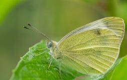 Gran mariposa blanca meridional Foto de archivo libre de regalías