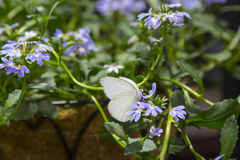 Gran mariposa blanca meridional masculina Foto de archivo