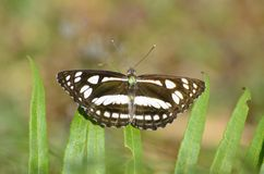 Gran mariposa del sargento Fotografía de archivo