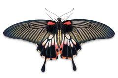 Gran mariposa femenina del memnon de Papilio del mormón imagen de archivo