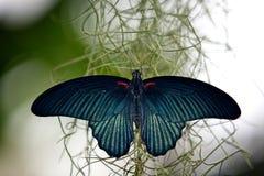 Gran mariposa mormónica Imagenes de archivo