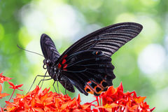 Gran mariposa mormona Imagen de archivo