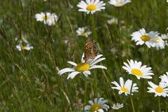 Gran mariposa Spangled del Fritillary Imágenes de archivo libres de regalías