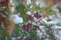 Gran med öppna kottar i vinter Arkivfoto