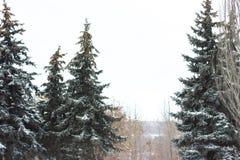 Gran med kottar i parkera i vinter Arkivfoto