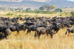 Gran migración, fauna africana Imagen de archivo