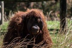 Gran mono - orangután que se sienta en un campo Foto de archivo libre de regalías