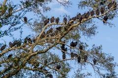 Gran número de los halcones, pájaros sociales de Roosting de la oportunidad. Fotografía de archivo