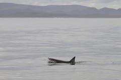 Gran natación del tiburón blanco Fotos de archivo