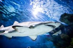 Gran natación del tiburón blanco Foto de archivo