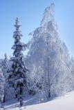 Gran och björk i rimfrost Fotografering för Bildbyråer