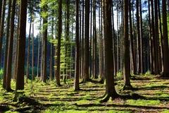 Gran- och bokträdskogbakgrund Arkivfoto