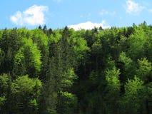 Gran- och bokträdträdskog Arkivfoton