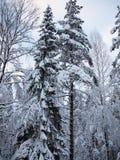 Gran och sörjer blåa och röda träd i snön av vinterskogen i frostig mist Royaltyfri Bild