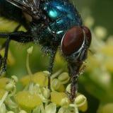 Gran ojo de la mosca Imagenes de archivo