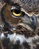 Gran ojo del buho de cuernos Fotos de archivo libres de regalías