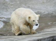 Gran oso del norte blanco Imagen de archivo libre de regalías
