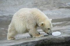 Gran oso del norte blanco Imágenes de archivo libres de regalías