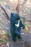 Gran oso Himalayan, subidas en las piernas traseras o demostraciones detrás fotos de archivo