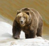 Gran oso marrón Fotografía de archivo libre de regalías