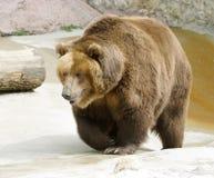 Gran oso marrón Imagen de archivo libre de regalías