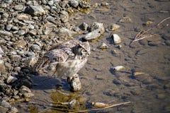 Gran Owl Bathing de cuernos imagenes de archivo
