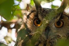 Gran Owl Close Up de cuernos Imágenes de archivo libres de regalías