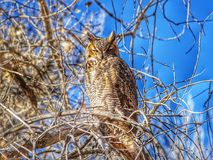 Gran Owl Sits de cuernos en el Sun en el parque de estado del pueblo del lago, Colorado Imágenes de archivo libres de regalías