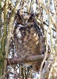 Gran Owl Sitting In de cuernos un árbol camuflado Imagenes de archivo