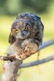 Gran Owlet de cuernos Fotografía de archivo