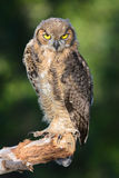 Gran Owlet de cuernos Imágenes de archivo libres de regalías