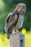 Gran Owlet de cuernos Fotografía de archivo libre de regalías