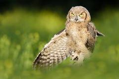 Gran Owlet de cuernos Fotos de archivo libres de regalías
