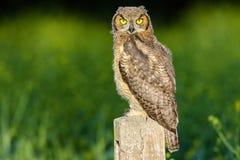 Gran Owlet de cuernos Fotos de archivo