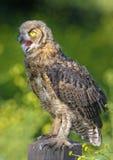 Gran Owlet de cuernos Foto de archivo