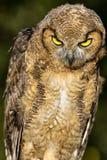 Gran Owlet de cuernos Imagenes de archivo