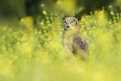 Gran Owlet de cuernos Foto de archivo libre de regalías