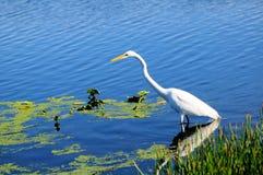 Gran pájaro blanco del egret Fotos de archivo libres de regalías