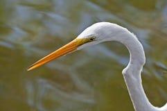 Gran pájaro del Egret imagen de archivo