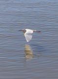 Gran pájaro del Egret Imágenes de archivo libres de regalías
