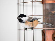 Gran pájaro del tit imagen de archivo libre de regalías