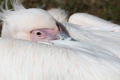 Gran pelícano blanco Foto de archivo libre de regalías