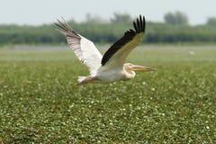Gran pelícano que vuela sobre pantano Imagen de archivo