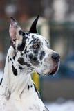 Gran perro del danés Imágenes de archivo libres de regalías