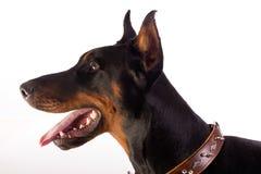 Gran perro del doberman Imagen de archivo
